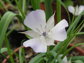 Calochortus uniflorus