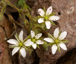 Minuartia nuttallii var. gracilis