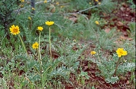 Balsamorhiza macrolepis
