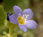Polemonium californicum