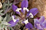 Lupinus lepidus var. ramosus
