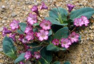 Cycladenia humilis