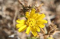 Centromadia parryi ssp. parryi