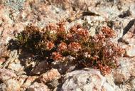 Eriogonum ericifolium var. thornei