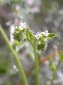 Cryptantha dumetorum