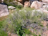 Ephedra trifurca