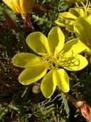Oenothera primiveris