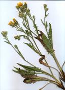 Crepis occidentalis