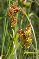 Carex flava