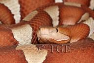 Agkistrodon contortrix pictigaster