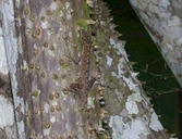 "<strong>Location:</strong> Madre Selva Biological Station, Rio Orosa (Peru)<br /><strong>Author:</strong> <a href=""http://calphotos.berkeley.edu/cgi/photographer_query?where-name_full=Shawn+Mallan&one=T"">Shawn Mallan</a>"