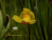 Utricularia ochroleuca