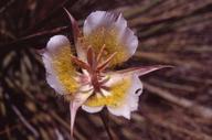 Calochortus plummerae