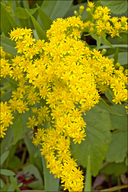 Early Golden Rod
