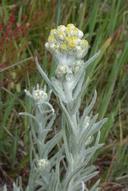 Pseudognaphalium stramineum