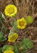 Hemizonia corymbosa ssp. corymbosa
