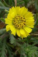 Hemizonia corymbosa
