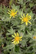 Heterotheca sessiliflora ssp. bolanderi