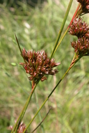 Juncus occidentalis
