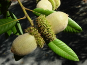 Lithocarpus densiflorus var. densiflorus
