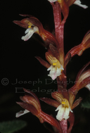 Corallorhiza maculata var. immaculata
