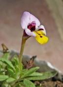 Mimulus pulchellus