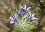Navarretia squarrosa
