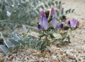 Astragalus mohavensis
