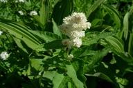 Aconogonon phytolaccifolium