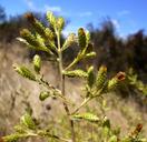 Hazardia squarrosa var. squarrosa