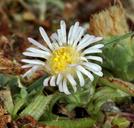 Symphyotrichum frondosum
