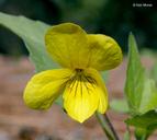 Viola lobata ssp. integrifolia