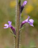 Verbena lasiostachys