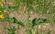 Verbena lasiostachys var. lasiostachys