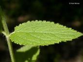 Stachys ajugoides var. rigida