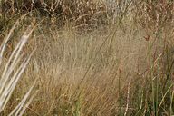 Muhlenbergia asperifolia
