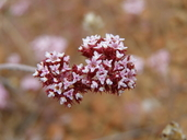 Chorizanthe wheeleri
