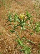 Carthamus creticus