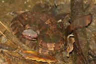 Agkistrodon piscivorus leucostoma
