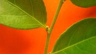 Casearia arborea