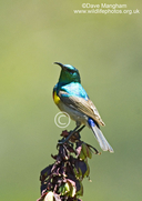 Lesser (southern) Double-collared Sunbird