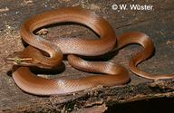 Lined House Snake