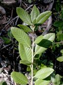 Notholithocarpus densiflorus var. densiflorus