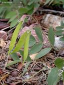 Lathyrus nevadensis var. nevadensis