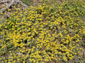 Nevada Bird's-foot Trefoil