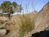 Digitaria californica