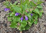 Scutellaria tuberosa