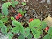 Fragaria virginiana ssp. platypetala