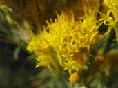 Ericameria nauseosa