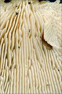 Lenzites betulina